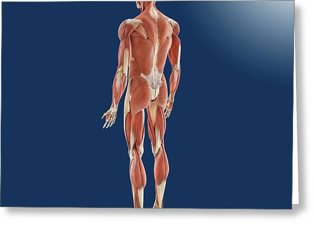 Human Musculature Greeting Card by Springer Medizin