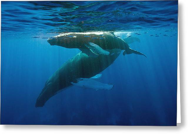 Humpback Whale And Calf Greeting Card