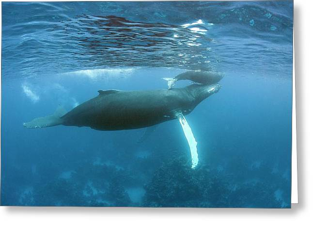 Humpback Whale Mother And Calf Greeting Card by Ethan Daniels