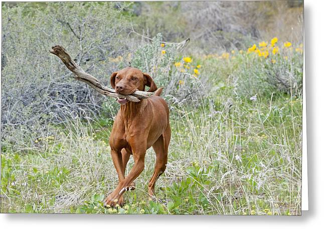 Hungarian Vizsla Retrieving A Stick Greeting Card by William H. Mullins