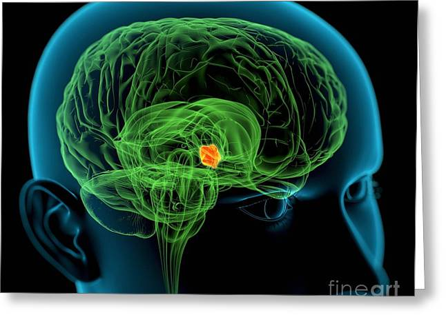 Hypothalamus In The Brain, Artwork Greeting Card