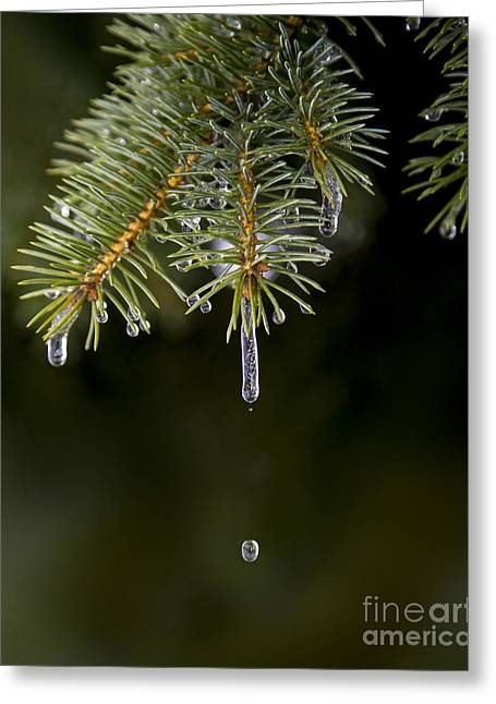 Ice Cicles Melting On A Pine Branch Greeting Card