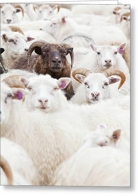 Icelandic Sheep Greeting Card