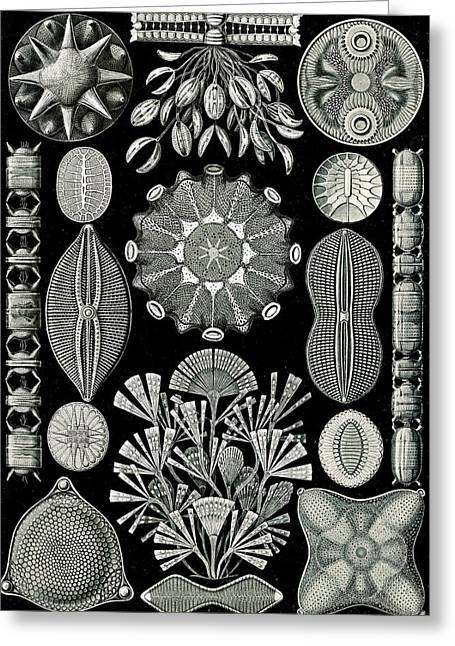 Illustration Shows Algae. Diatomea. - Schachtellinge Greeting Card by Artokoloro