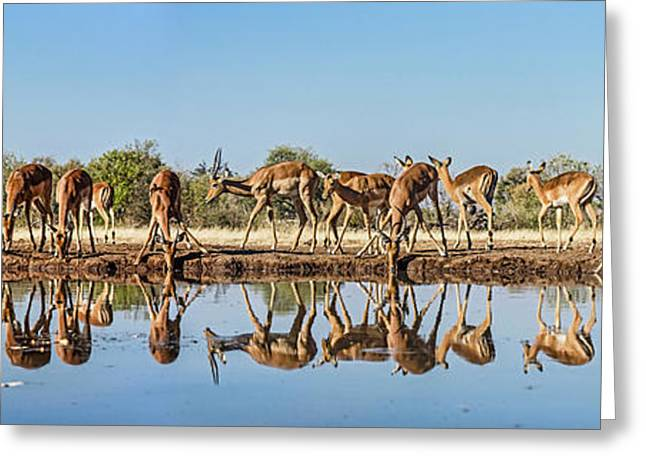 Impalas Aepyceros Melampus Greeting Card by Panoramic Images