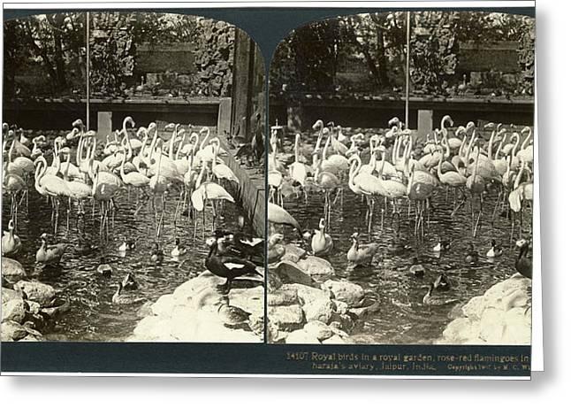 India Flamingos, C1907 Greeting Card