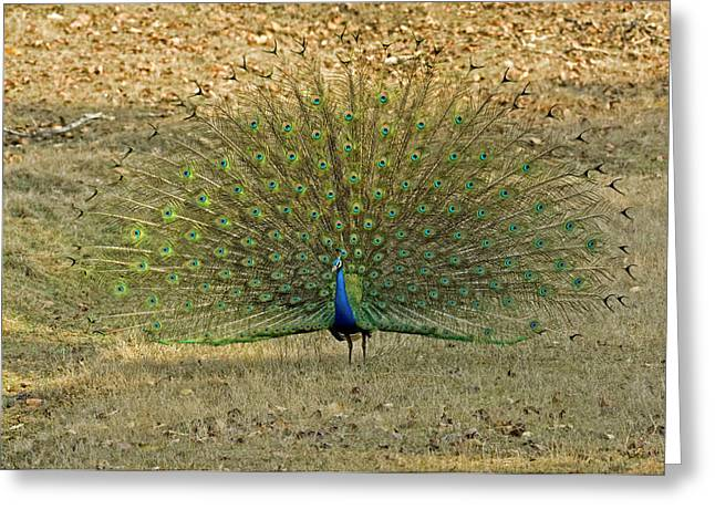 Indian Peacock Greeting Card by Tony Camacho/science Photo Library