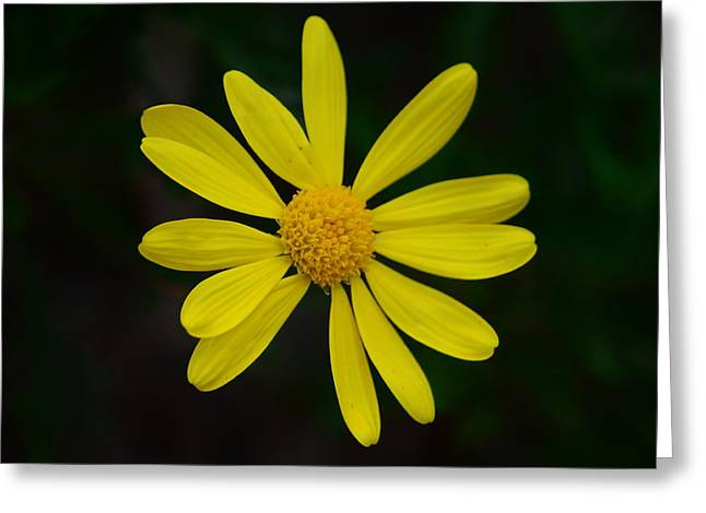Greeting Card featuring the photograph Isolated Daisy by Debra Martz