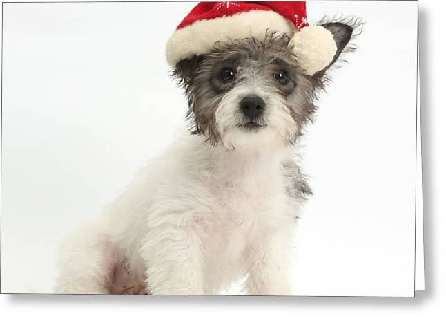 Jack Russell X Westie Pup Wearing Greeting Card by Mark Taylor