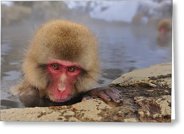 Japanese Macaque In Hot Spring Greeting Card