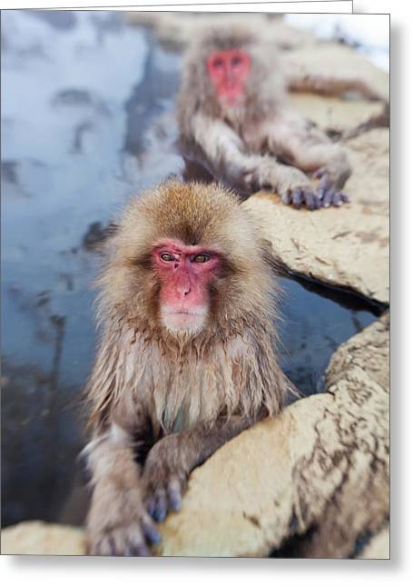 Japanese Macaque (macaca Fuscata Greeting Card