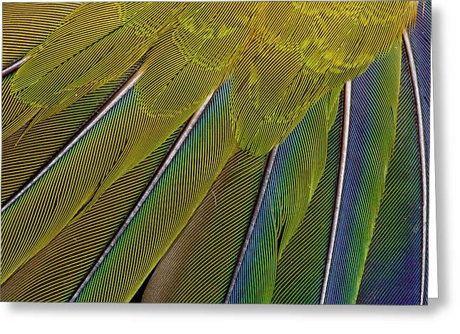 Jenday Conure Greeting Card by Darrell Gulin