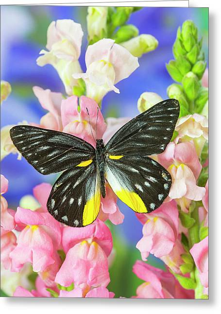 Jezebels Butterfly, Delias Species Greeting Card