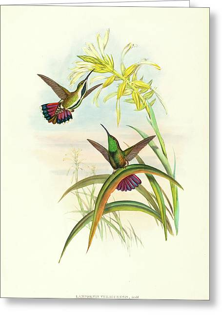 John Gould And H.c Greeting Card by Litz Collection