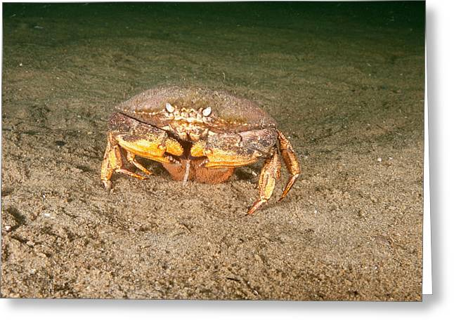 Jonah Crab With Eggs Greeting Card by Andrew J. Martinez
