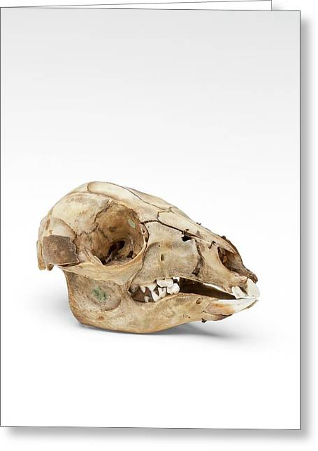Kangaroo Skull Greeting Card by Ucl, Grant Museum Of Zoology