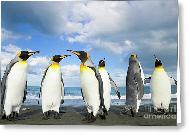 King Penguins In Gold Harbour  Greeting Card