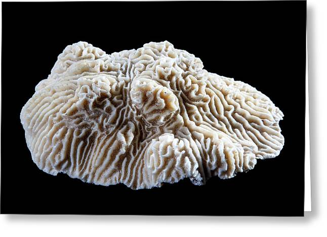 Knobby Brain Coral Greeting Card