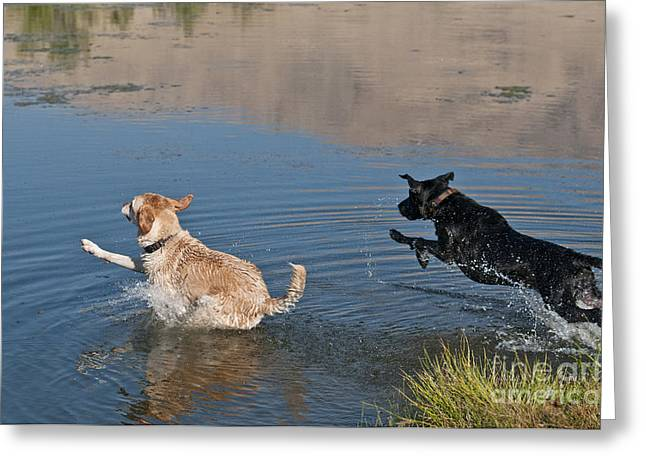 Labrador Retrievers In Pond Greeting Card by William H. Mullins