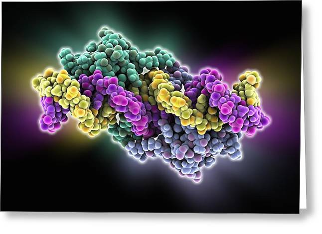 Lac Repressor Bound To Dna Greeting Card by Science Photo Library