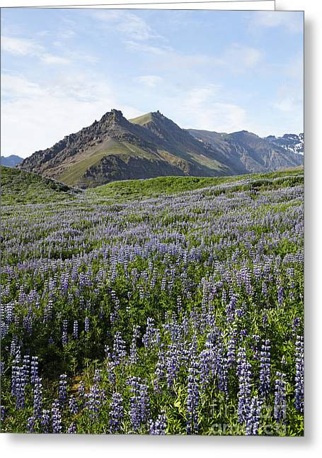 Landscape Of Arctic Lupins At Skafafell In Iceland Greeting Card by Robert Preston