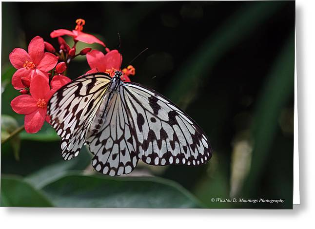 Large Tree Nymph Butterfly Greeting Card