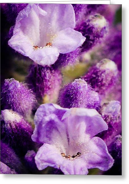 Lavender Greeting Card by Cathy Donohoue