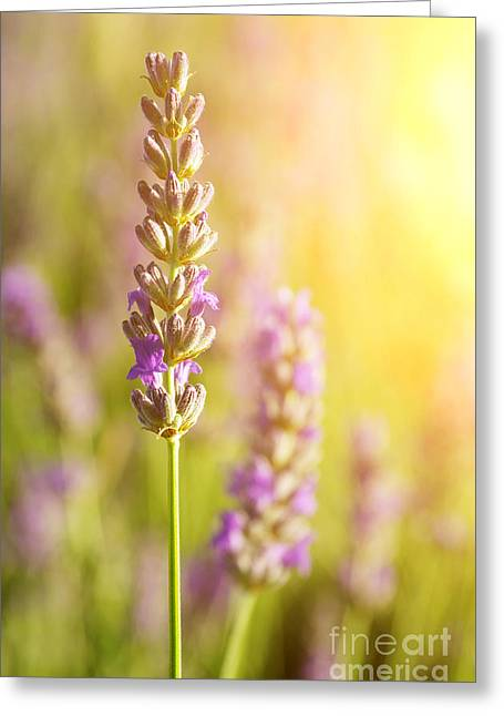 Lavender Flowers Greeting Card