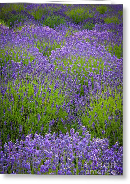 Lavender Study Greeting Card