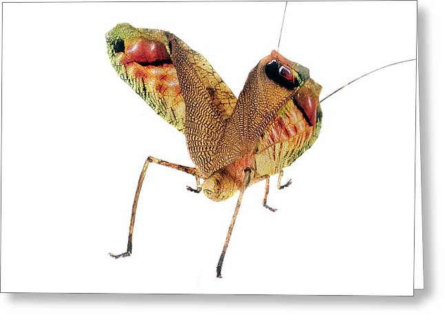Leaf Mimic Bush Cricket Greeting Card