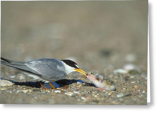 Least Tern Greeting Card