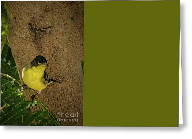 Lesser Goldfinch Greeting Card by Robert Bales