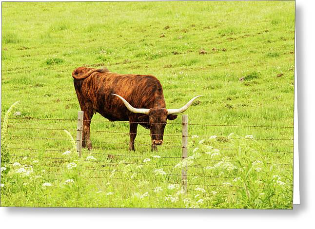 Longhorn Grazing In Green Pasture Greeting Card by Piperanne Worcester