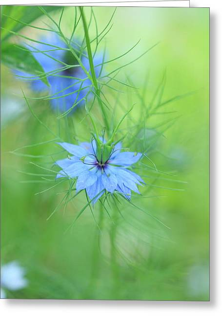 Love In A Mist Greeting Card by Rebeka Dove