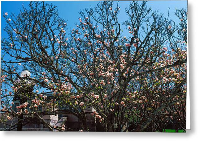 Low Angle View Of Cherry Trees Greeting Card