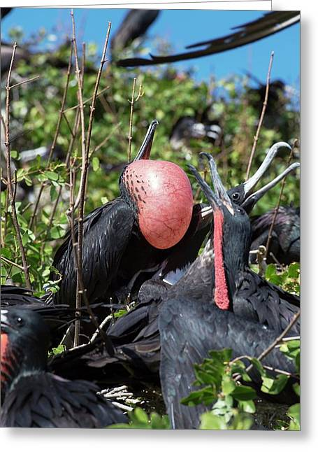 Magnificent Frigatebird Displaying Greeting Card by Christopher Swann
