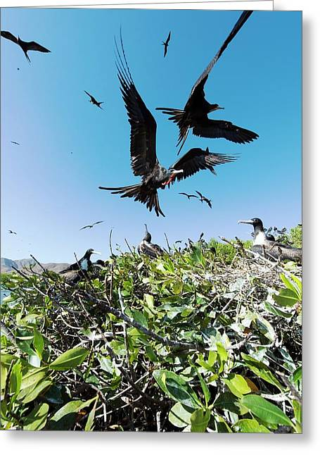 Magnificent Frigatebirds Greeting Card by Christopher Swann