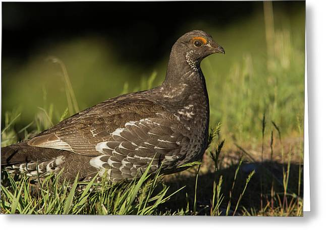 Male Blue Grouse At The National Bison Greeting Card