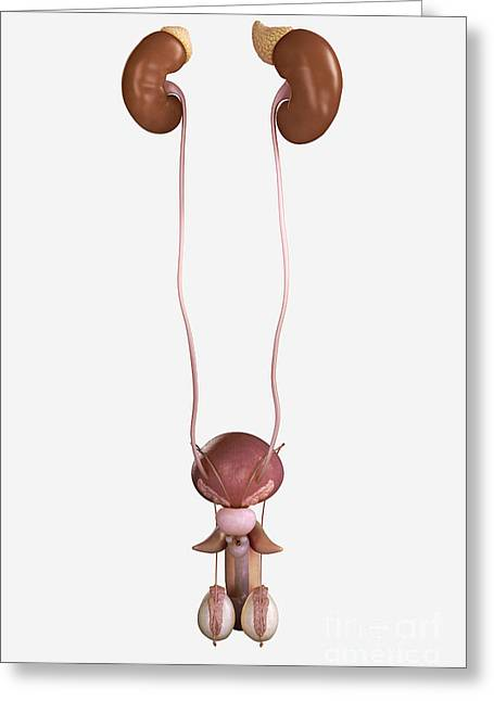 Male Genitourinary System Greeting Card by Science Picture Co