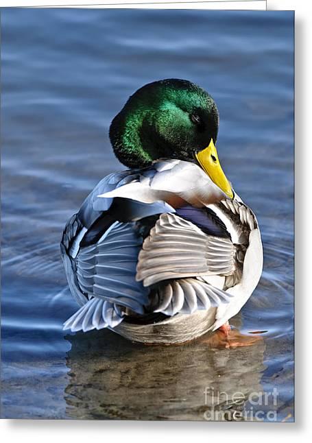 Male Mallard Duck Greeting Card by Michael Cummings