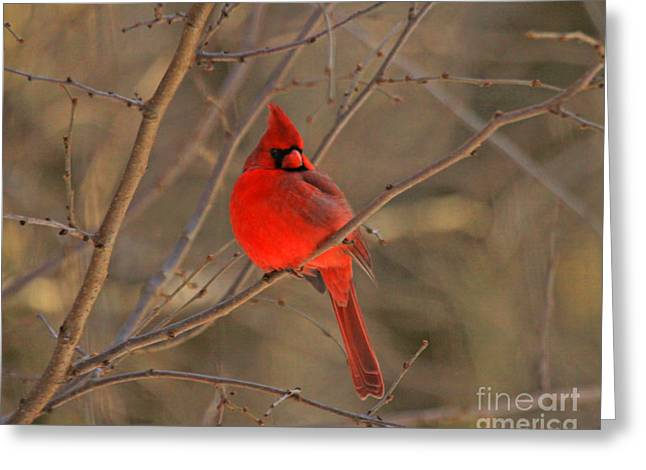 Male Northern Cardinal Greeting Card