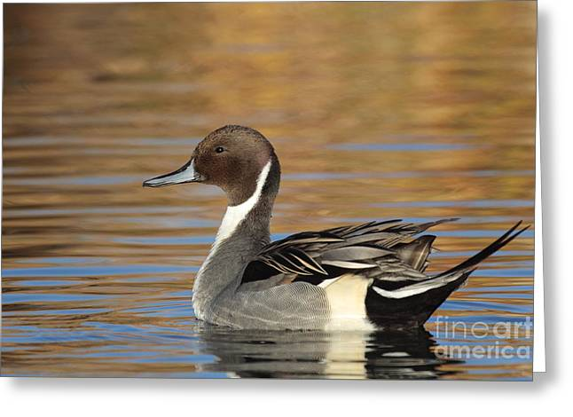 Male Pintail Greeting Card by Ruth Jolly
