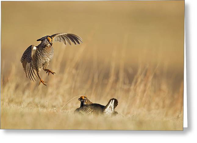 Male Prairie Chickens At Lek In Loup Greeting Card