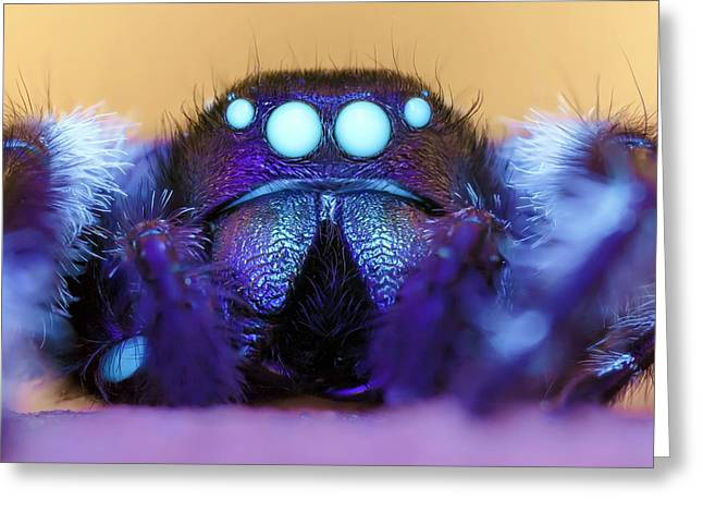 Male Regal Jumping Spider Greeting Card by Alex Hyde