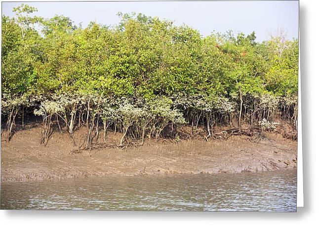Mangroves In The Sunderbans Greeting Card