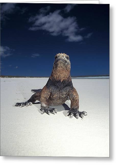 Marine Iguana Greeting Card