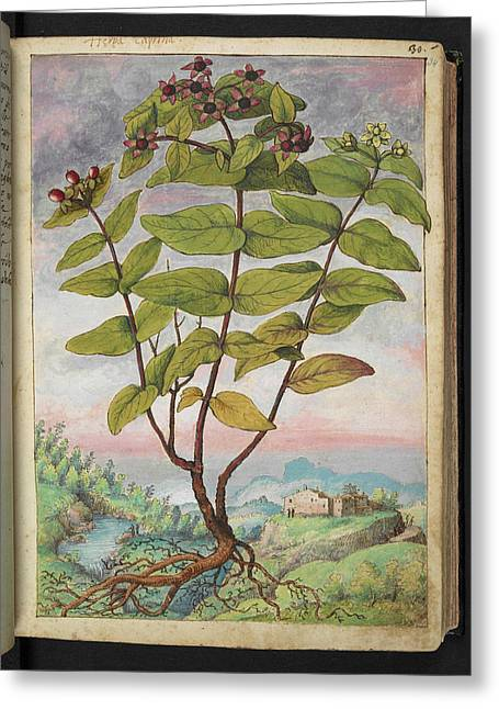 Medicinal Plant Greeting Card by British Library