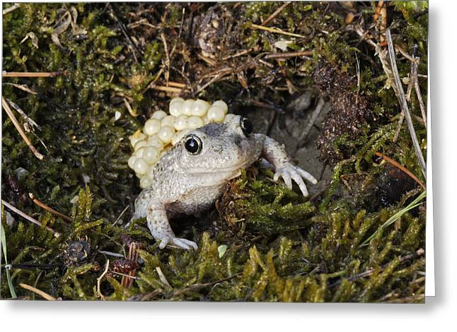 Midwife Toad With Eggs Greeting Card by M. Watson
