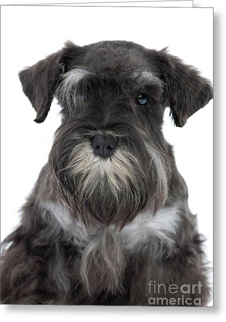 Miniature Schnauzer Puppy Greeting Card