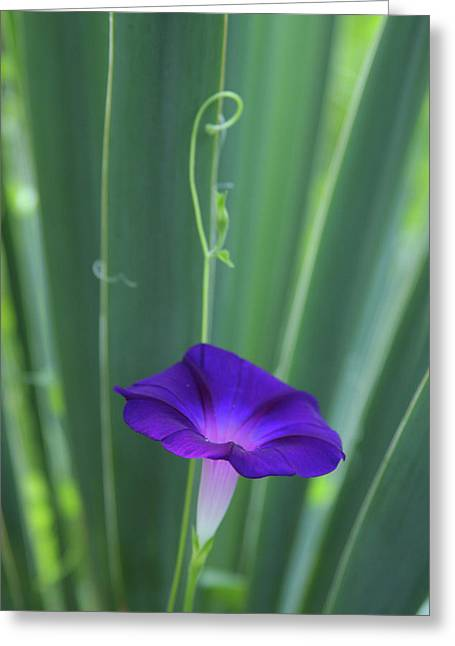 Morning Glory Greeting Card by Anna Miller